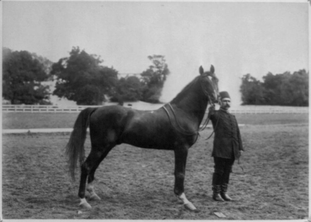 [The black Arabian horse named Behim] / Constantinople, Abdullah Frères