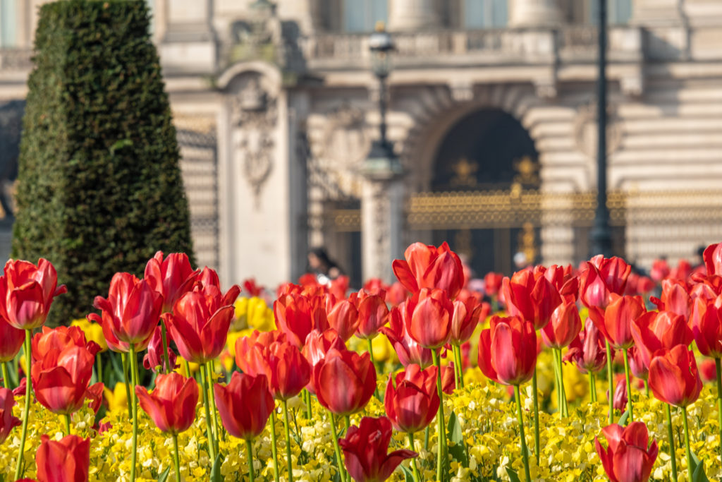 Telephoto shot of flowers in front of Buckingham Palace, London. The base of the Victoria Memorial and Palace are defocused in the background