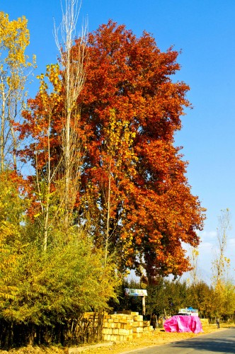 The Majestic Chinar Trees Are At Their Fiery Best Click