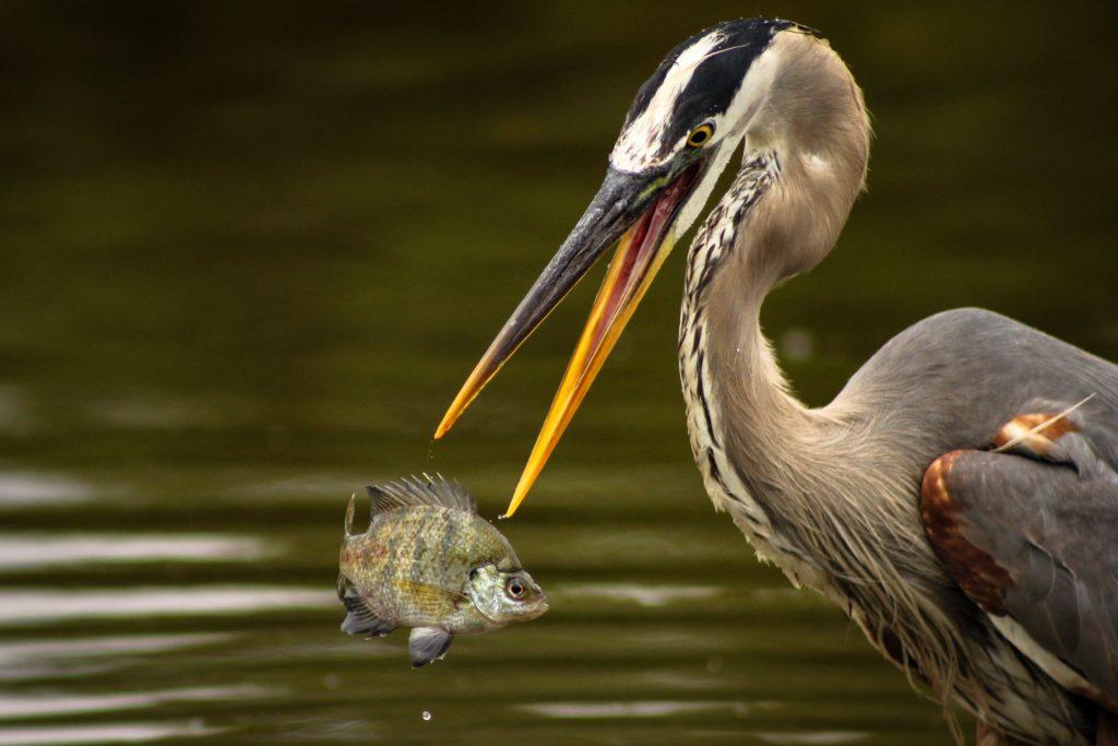 Heron in action