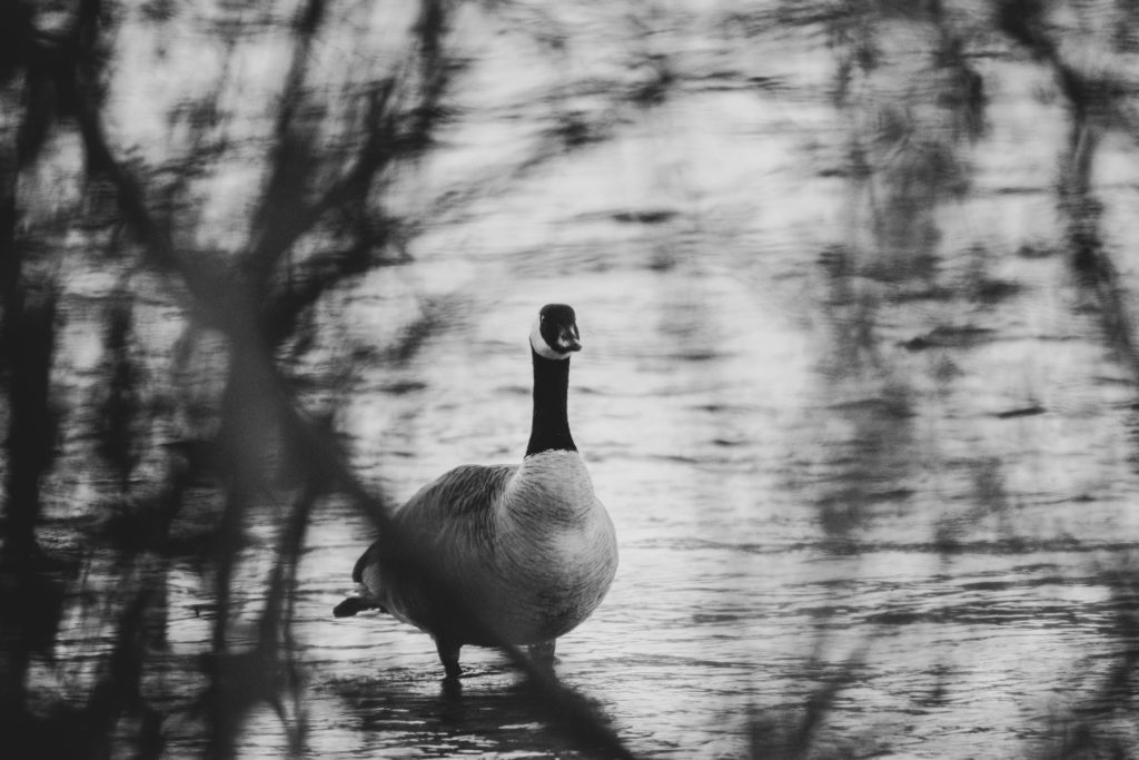 River and duck in black and white