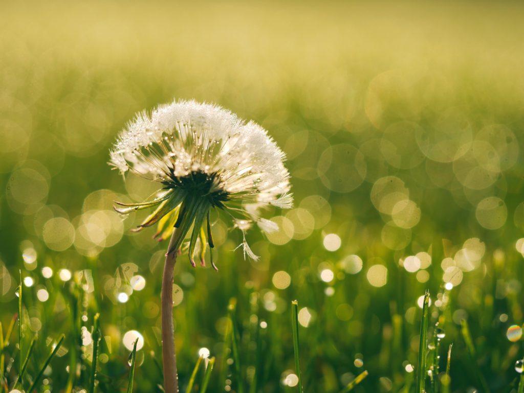dandelion with dew drops as bokeh