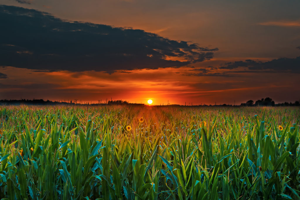 sunset corn field