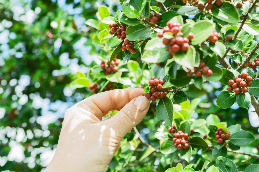 hand fruits rural gardening