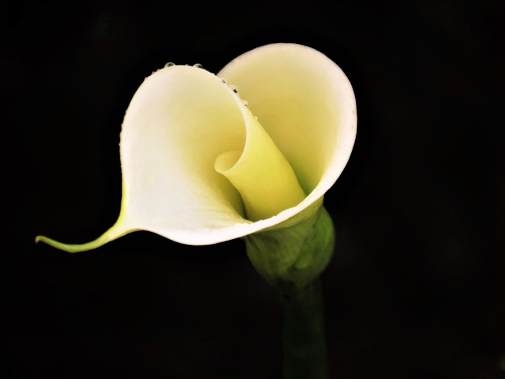 Flower with black background
