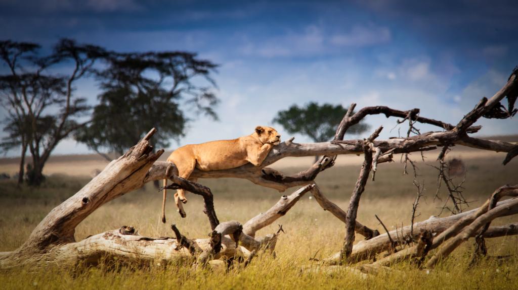 lioness sunbathing