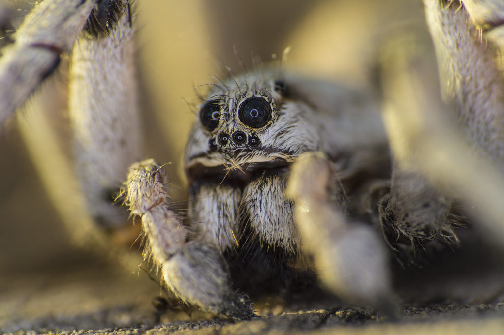 lycosidae o araña lobo
