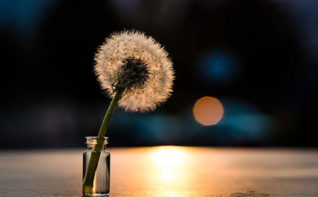 still life dandelion