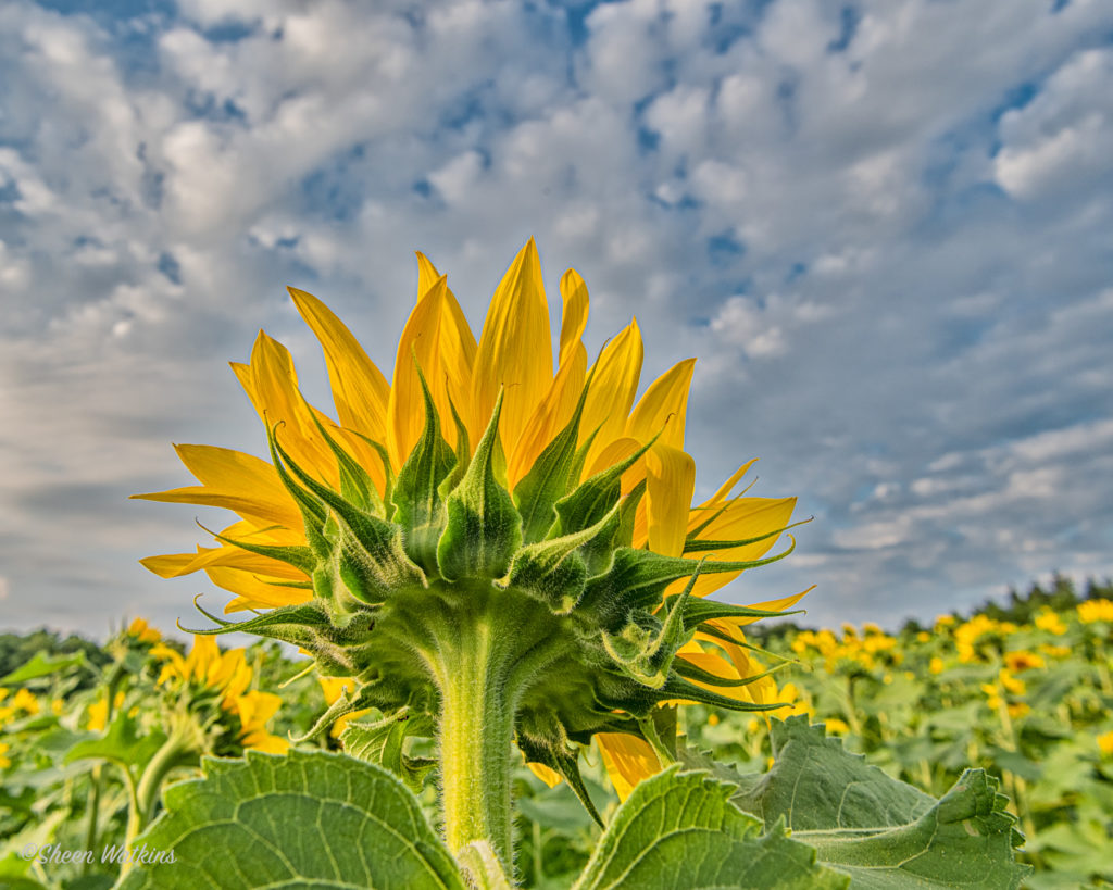 What does the Sunflower See?