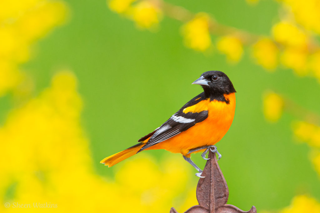 Photoblogging about the Baltimore Oriole