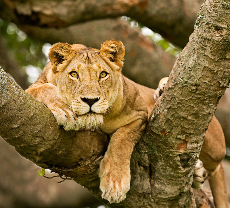 tree climbing lion in uganda