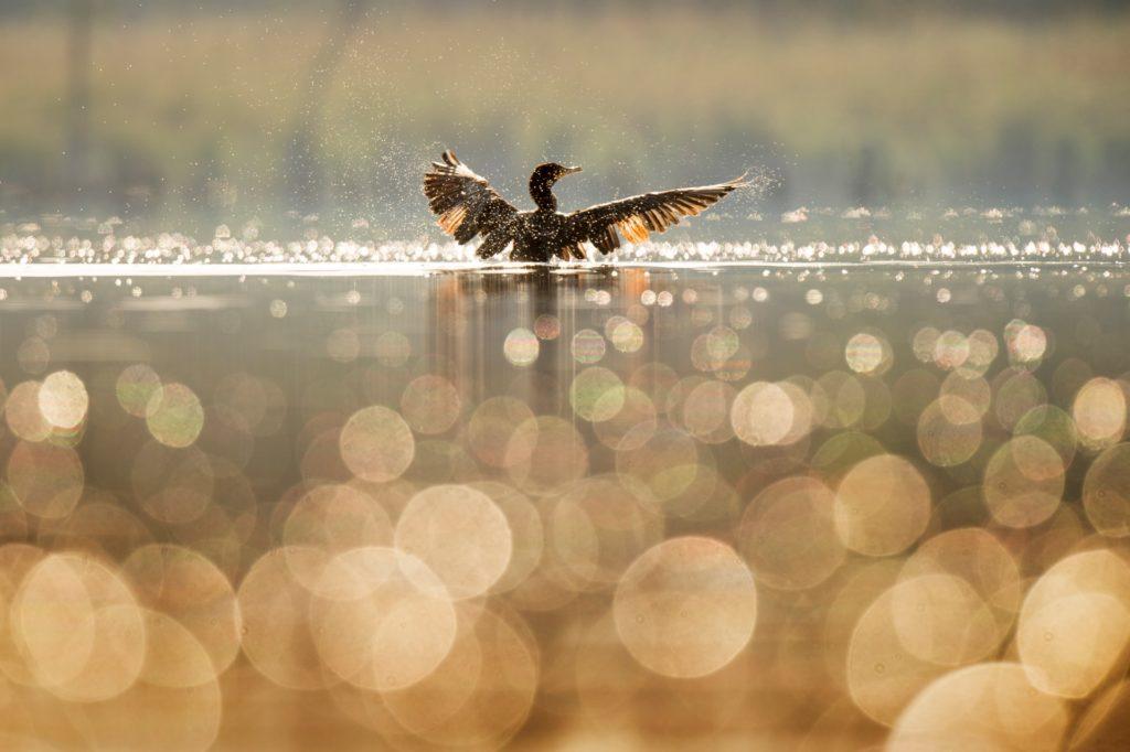 water bird bokeh